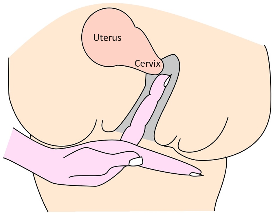 Cervix Position During Ovulation Conception Advice